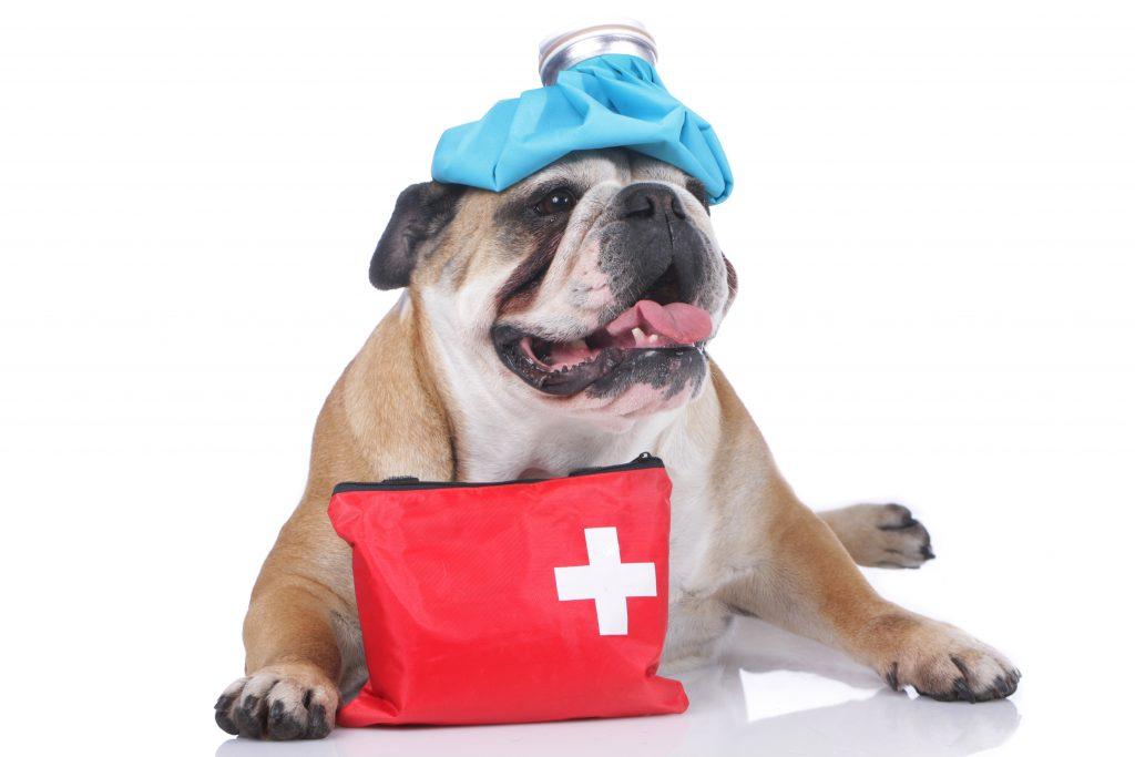 English bulldog with emergency kit